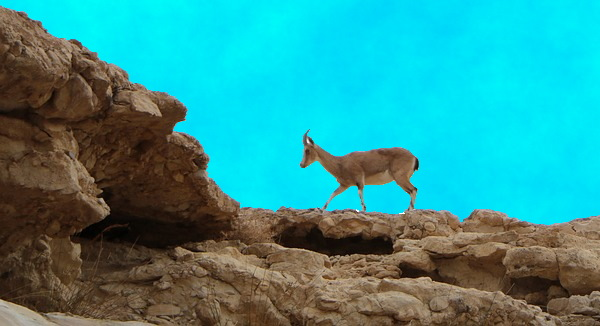 https://pixabay.com/photos/gazelle-mountain-gazelle-desert-dry-3510459/