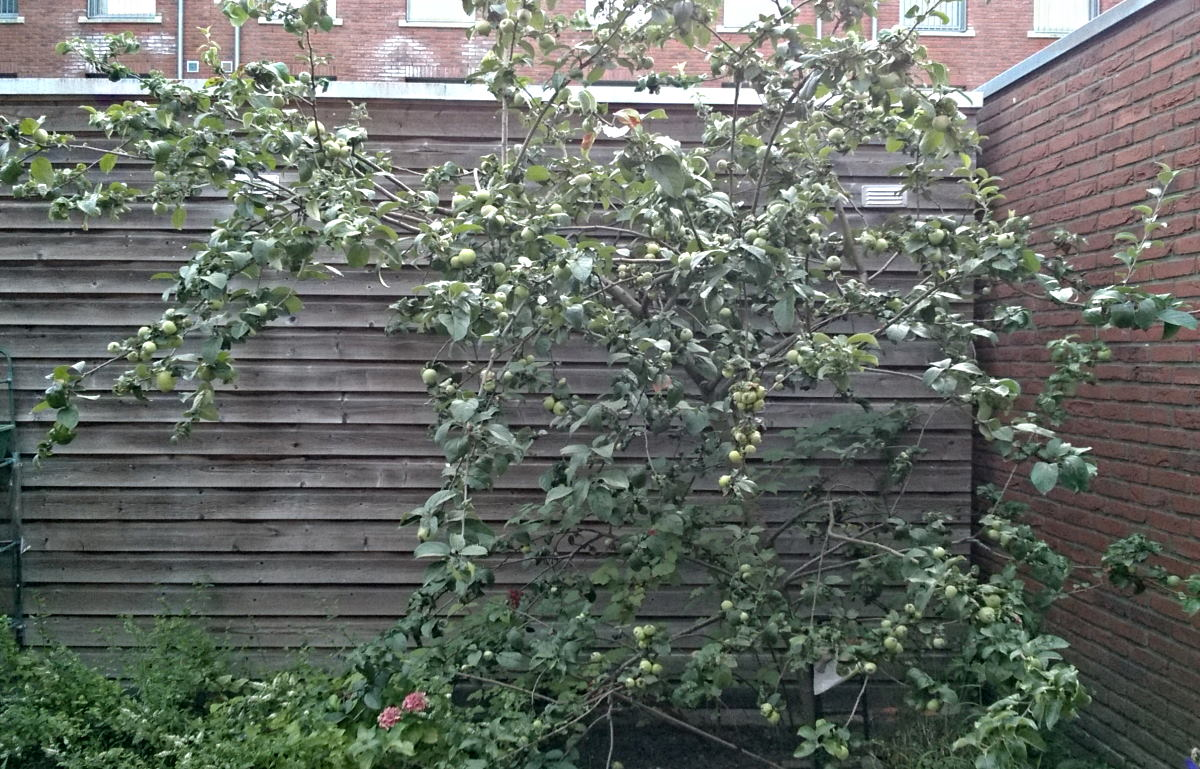 an overloaded apple tree