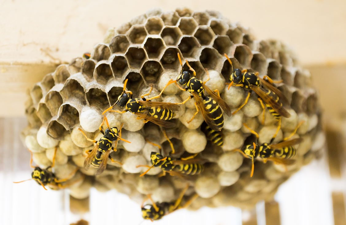 https://pixabay.com/photos/the-hive-wasps-combs-nest-insect-335984/