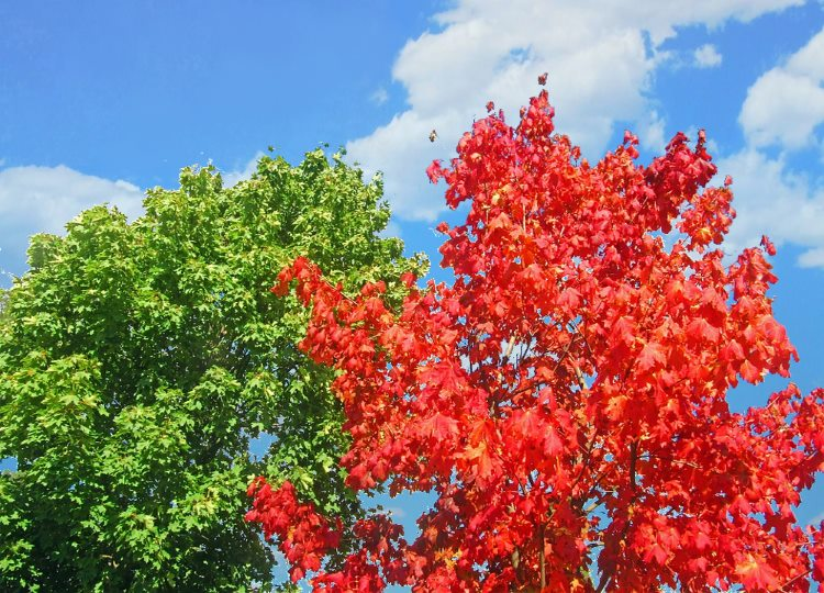 two trees. https://www.maxpixel.net/Two-Trees-Colorful-Maples-Red-Tree-Early-Autumn-577058